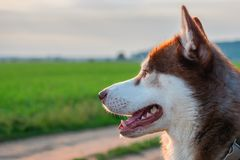 Side portrait red Siberian husky dog on background of green meadows and evening sky. Copy space. stock photo