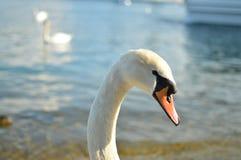 Side Portrait of a Swan's head. Majestic swan in Lucerne, switzerland. Detail of the head. Bokeh Stock Photo