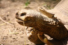 Side portrait of tortoise. Outdoors with grass in mouth Royalty Free Stock Photos