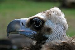 Side portrait of vulture. Bird with green nature background stock photos