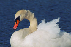 Side portrait of white swan Royalty Free Stock Photos