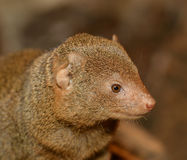 Portrait of Yellow Mongoose Royalty Free Stock Photography