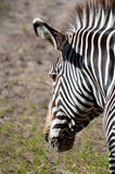 Side portrait of zebra Stock Photography