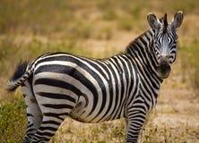 Side portrait of zebra. On Maasai Mara game reserve in Kenya royalty free stock photography