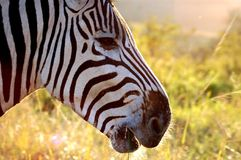 Side portrait of zebra Royalty Free Stock Photos