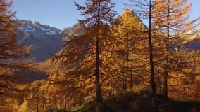Side POV walking on fall woods path near trees with sun and snowy mounts.Sunny autumn day Hiking in colorful red forest. Wild nature mountain outdoors.Alps stock video footage