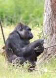 Side profil of a western lowalnd gorilla feeding royalty free stock photography