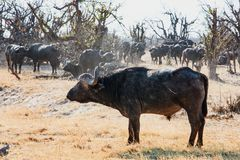 Side Profile of an African Cape Buffalo standing in the african bush with a large herd in the background. A large Bull Cape Buffalo standing on the dry african royalty free stock photos