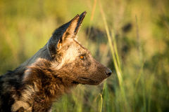 Side profile of an African wild dog in the Kruger National Park, South Africa. Royalty Free Stock Photo