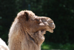 Side Profile of a Bactrian Camel Royalty Free Stock Photo
