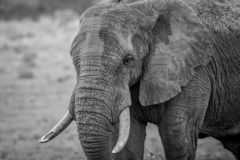 Side profile of a big Elephant bull. In black and white in the Welgevonden game reserve, South Africa royalty free stock photos
