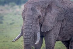 Side profile of a big Elephant bull royalty free stock image