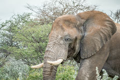 Side profile of a big Elephant. Royalty Free Stock Photography