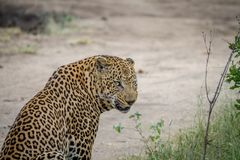 Side profile of a big male Leopard. Royalty Free Stock Photography