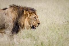 Side profile of a big male Lion. Side profile of a big male Lion in the Central Kalahari, Botswana Royalty Free Stock Photo