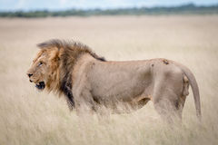 Side profile of a big male Lion in the grass. Side profile of a big male Lion in the high grass in the Central Kalahari, Botswana Stock Photos