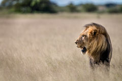 Side profile of a big male Lion in the grass. Side profile of a big male Lion in the high grass in the Central Kalahari, Botswana Royalty Free Stock Image