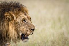 Side profile of a big male Lion. Side profile of a big male Lion in the high grass in the Central Kalahari, Botswana Royalty Free Stock Photography