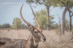 Side profile of a big male Waterbuck. Royalty Free Stock Image