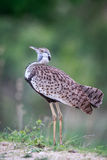 Side profile of a Black-bellied bustard. Stock Photos
