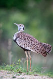 Side profile of a Black-bellied bustard. stock photo