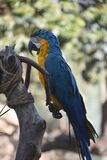 Blue and Gold Macaw Sitting on a Tree Branch. Side profile of a blue and gold macaw sitting on a branch Stock Photo