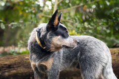 Side profile of Blue Heeler puppy. Profile of Blue heeler puppy looking back stock images