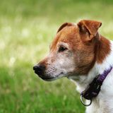 Close up of a dogs head. Side profile of a brown and white Jack Russell Terrier, family royalty free stock photos