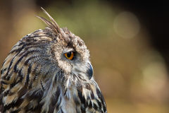 Side profile of a Cape Eagle Owl. Detailed portrait showing the face and head of a Cape Eagle Owl in Africa, with focus on the eye royalty free stock photos
