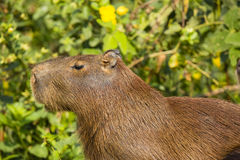 Side Profile of Capybara against Bush Royalty Free Stock Photos