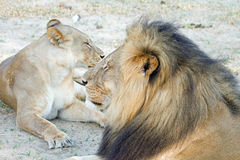 Side profile of Cecil and his lioness mate royalty free stock photos