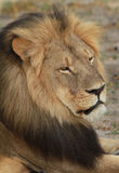 Side profile of Cecil the iconic Hwange Lion Stock Photography