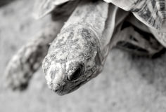 Side profile close up of star tortoise black and white Stock Photos