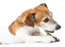 Side profile dog lies down and gnaws bone. Stock Images