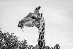 Side profile of an eating Giraffe. Stock Photography