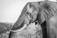 Side profile of an Elephant in black and white in the Kruger National Park. Royalty Free Stock Photography