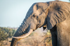 Side profile of an Elephant in the Kruger National Park. Stock Photography