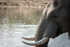 Side profile of an Elephant in the Kruger National Park. Stock Photos
