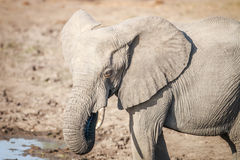 Side profile of an Elephant. Royalty Free Stock Photos