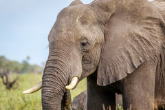 Side profile of an Elephant. Stock Images
