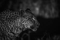 Side profile of a female Leopard. Stock Photo