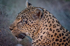 Side profile of a female Leopard. Stock Photos