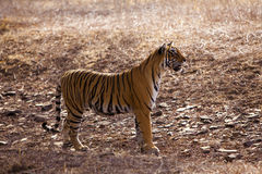 Side profile of a female tigress. Stock Photo