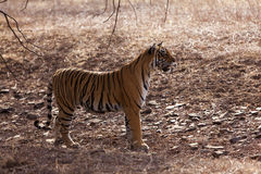 Side profile of a female tigress, Royalty Free Stock Photography