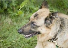 Side profile of german sheppard dog. Side profile of a beautiful german sheppard dog Royalty Free Stock Images