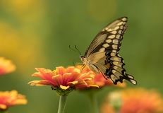 Side profile of Giant Swallowtail Papilio cresphontes Quebec. Closeup of colorful yellow and black butterfly, Giant Swallowtail, feeding on nectar from orange stock images