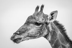 Side profile of a Giraffe in black and white. Royalty Free Stock Photos
