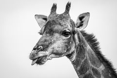 Side profile of a Giraffe in black and white. Stock Images