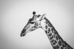 Side profile of a Giraffe in black and white. Royalty Free Stock Photo