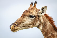 Side profile of a Giraffe. Royalty Free Stock Photo